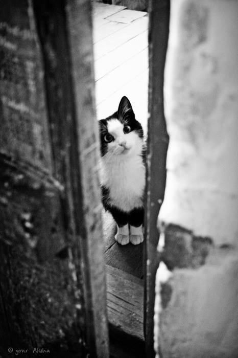 black-white-cat
